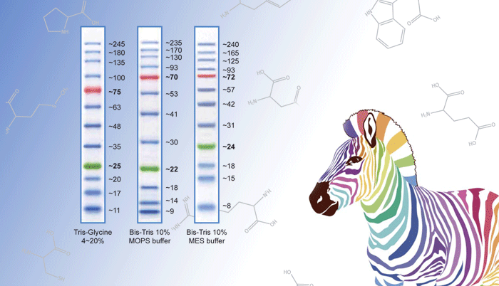 Protein Marker 2+1 행사